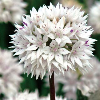 Graceful Allium Thumbnail