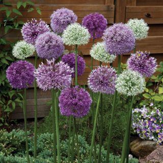 Giant Allium Mix Thumbnail