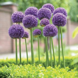 Gladiator Allium Thumbnail