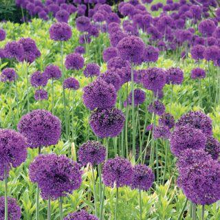 Purple Sensation Allium Thumbnail