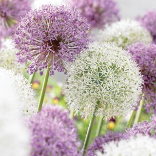 Big Bang Bloom Allium Blend Thumbnail