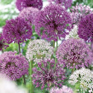 Elegant Mix Allium Thumbnail