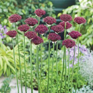 Atropurpureum Allium Thumbnail