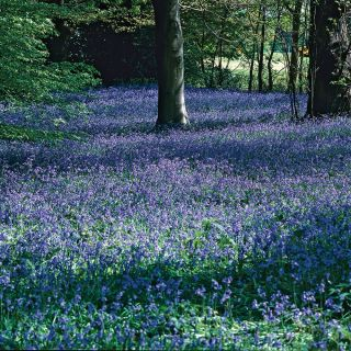 Original English Bluebell Thumbnail
