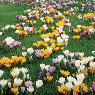 Giant Crocus Mix Thumbnail