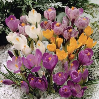Snow Crocus Mix Thumbnail