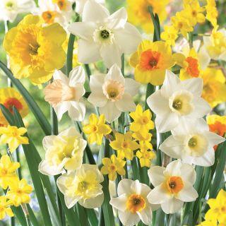 Fragrant Jonquil Mix Daffodil Thumbnail