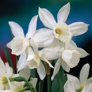 Thalia Fragrant Daffodil Thumbnail