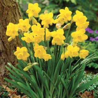 Quail Daffodil Thumbnail