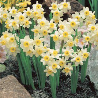 Minnow Daffodil Thumbnail