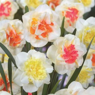 Double Mix Daffodils Thumbnail