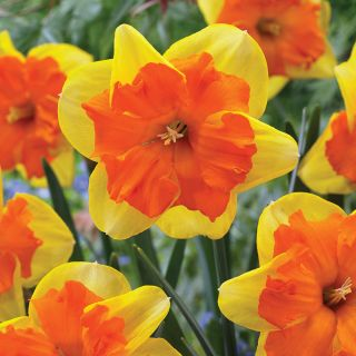 Congress Daffodil Thumbnail