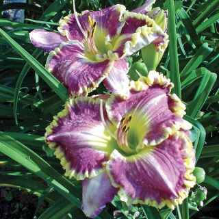 Best Seller Daylily (Fall Planting) Thumbnail