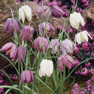 Checkered Lilies Thumbnail
