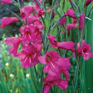 Hardy Gladiolus Thumbnail