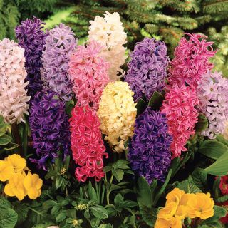 Hyacinth Mix Thumbnail