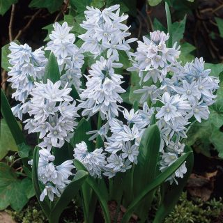 Striped Squill Thumbnail