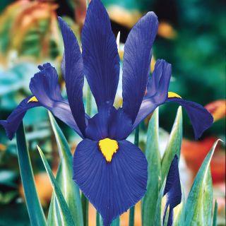 Blue Pearl Dutch Iris Thumbnail