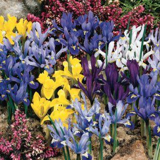 Dwarf Rockgarden Iris Thumbnail