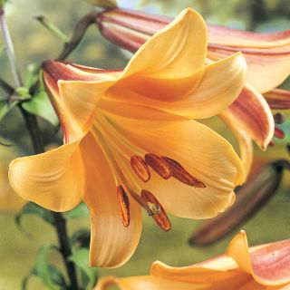 African Queen Trumpet Lily Thumbnail