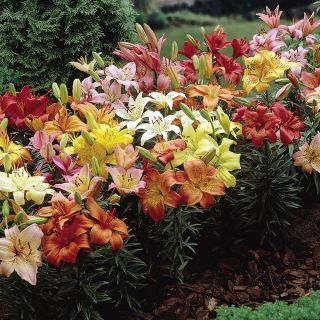 Dwarf Ground Cover Lily Mix Thumbnail