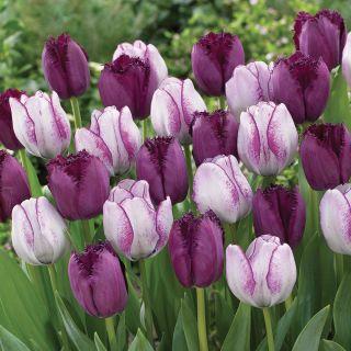 Pardon My Purple Tulip Blend Thumbnail