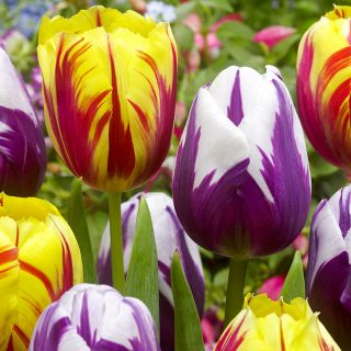 Fiery Flames Tulip Blend Thumbnail
