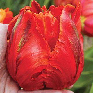 Avignon Parrot Tulip Thumbnail