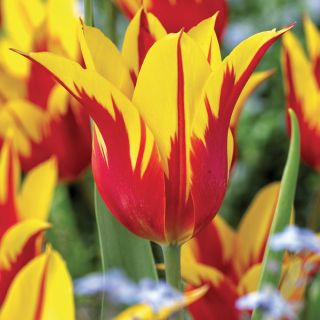 Firewings Lily Flowering Tulip Thumbnail