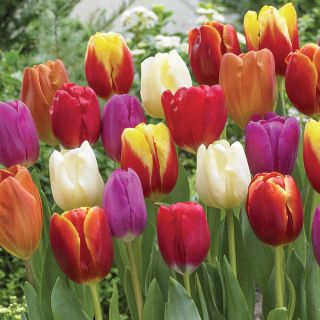 Festival of Tulips Mix Thumbnail