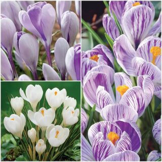Giant Crocus Collection Thumbnail