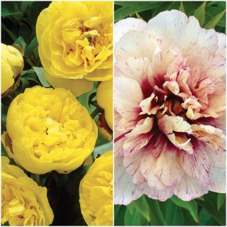 Exotic Peony Collection 1 Thumbnail