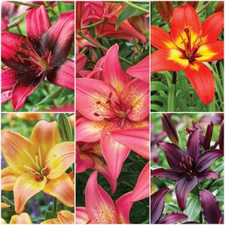 Asiatic Lily Collection Thumbnail