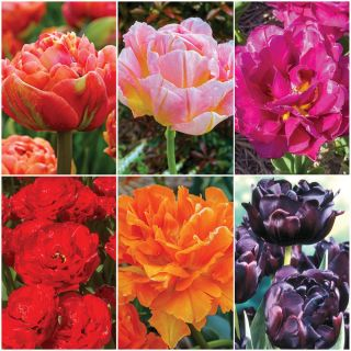 Double Tulip Collection Thumbnail