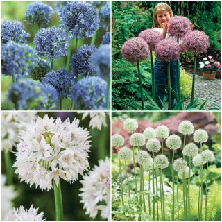 Amazing Allium Collection Thumbnail