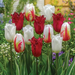 Canadian Freedom Tulip Blend Thumbnail