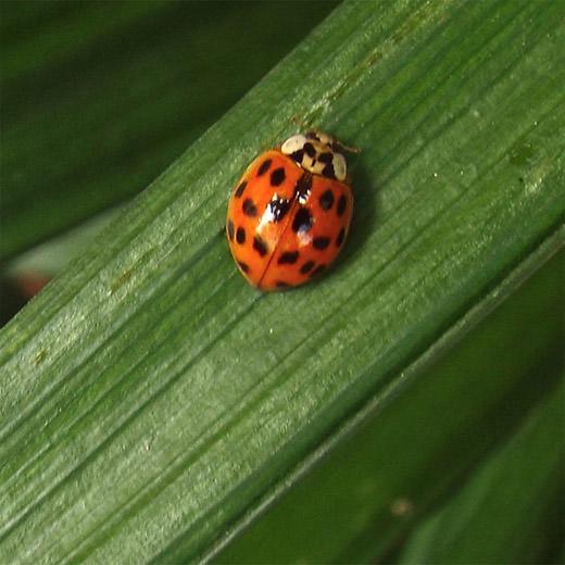 Image of lady bug