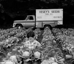 Cabbage patch with Veseys delivery truck